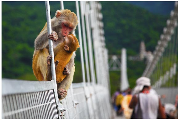 monkies on the bridge